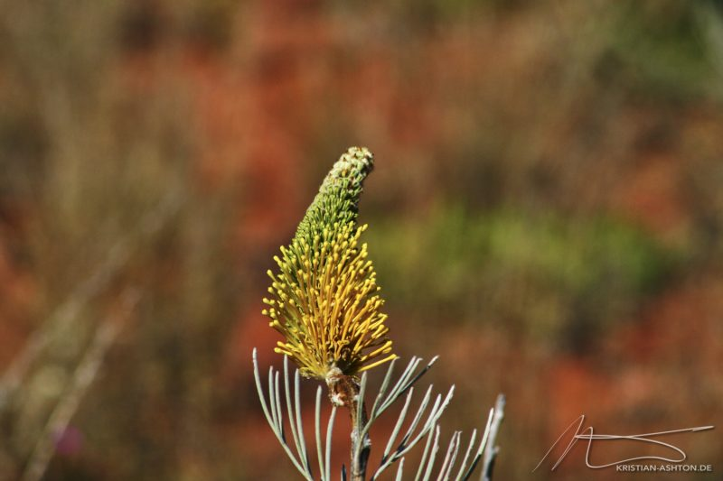 Flora at Kata Tjuta