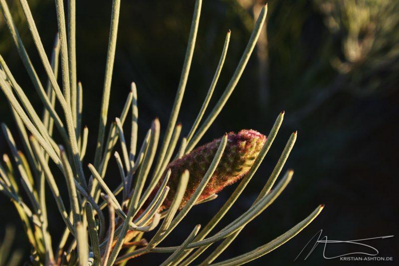 Flora at Uluru