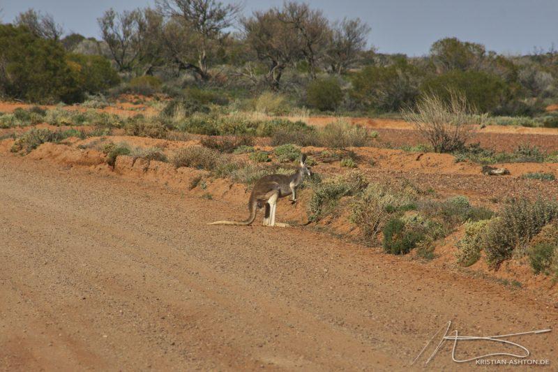 Kangaroos on the Oodnadatta Track