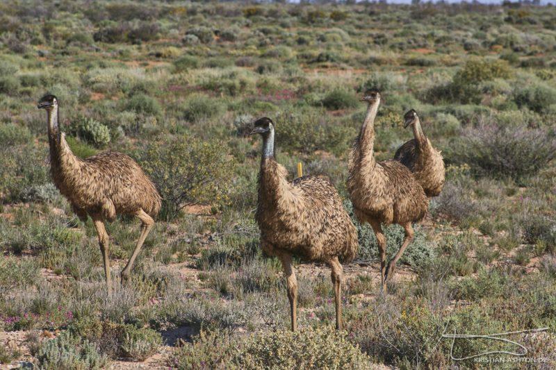 Emus along the road near Marree