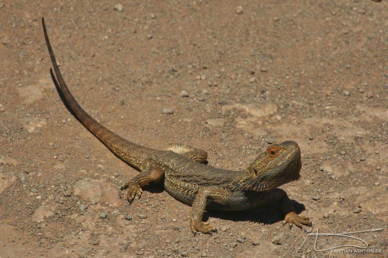 A lizard in the Flinders Ranges National Park