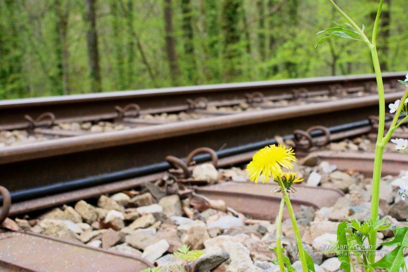 Track-side dandelion