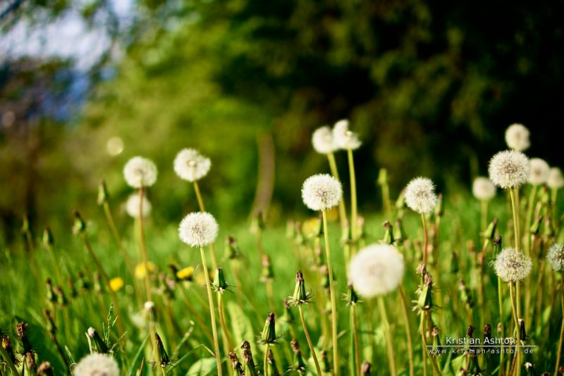 "Dandelions along the ""Neue Weinsteige"""