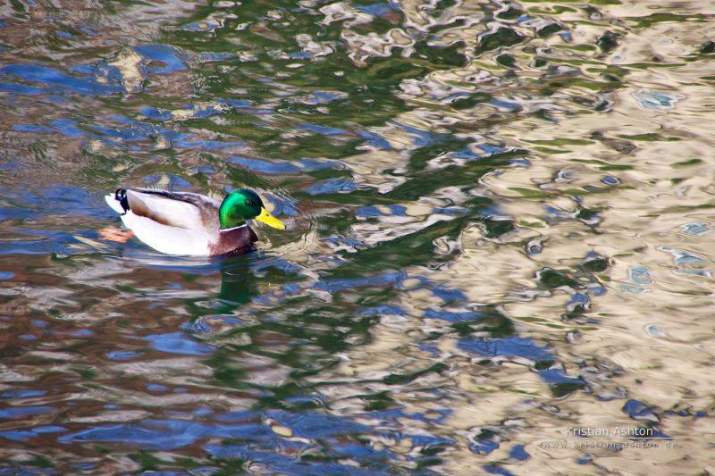 A duck in Esslingen am Neckar