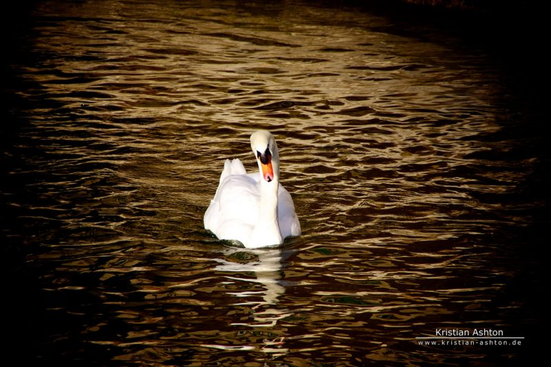 A swan in Esslingen am Neckar