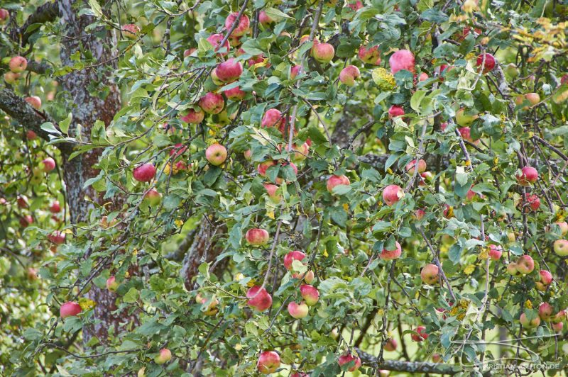 More apples!