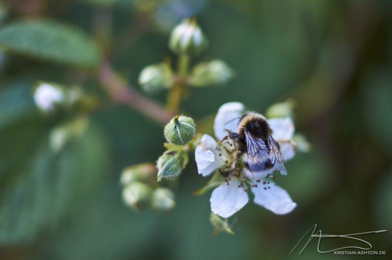 """Ilkley - """"Bumblebee"""""""