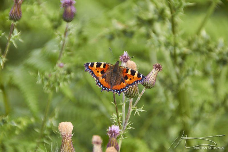 """Ilkley - """"Butterfly"""""""