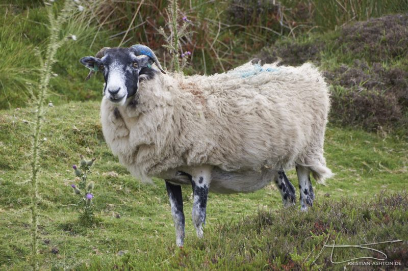 North York Moors - a sheep by Rosedale Chimney Bank