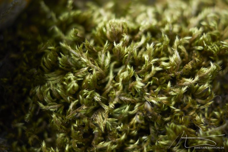 "Levisham - ""Moss"""