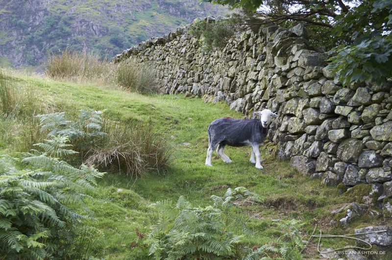 Lake District - a cheeky sheep by Buttermere
