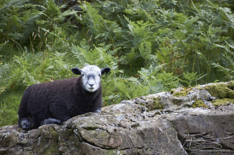 Lake District - Honister Pass - how sweet is this sheep!