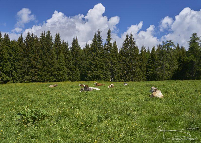 Happy alpine cows