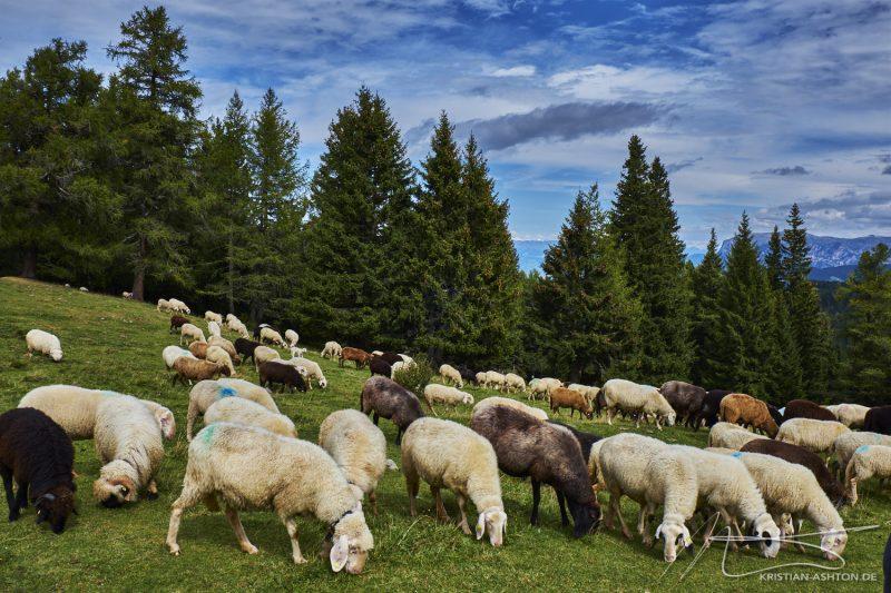 Almenwanderung - Süße Schafe bei der Bletterbachschlucht