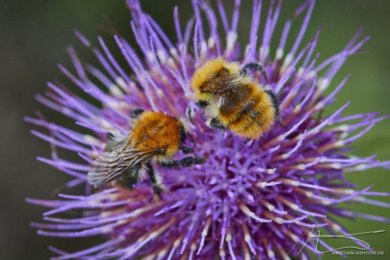Almenwanderung - Beschäftigte Bienen
