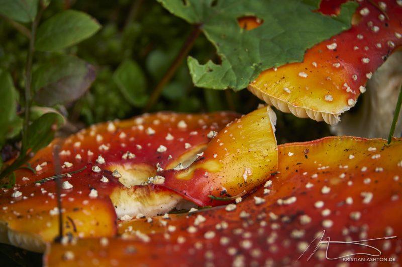 Fungi along the way back to Lake Carezza