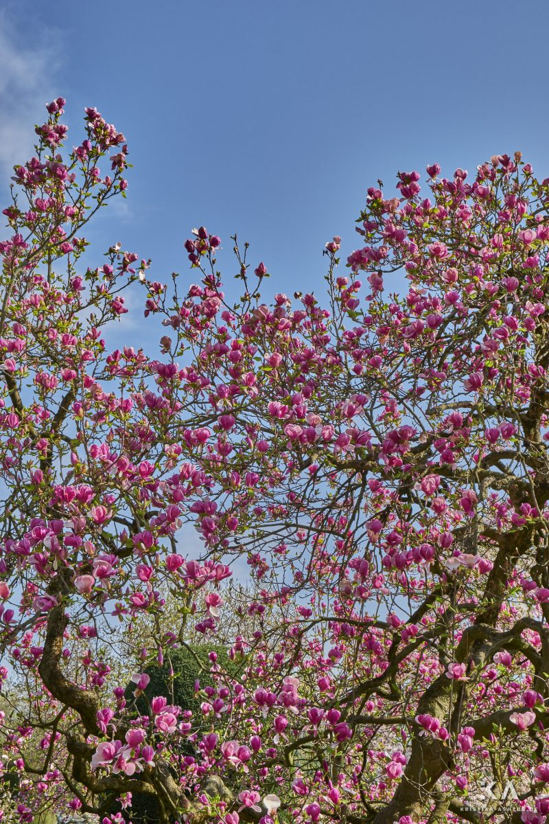 Magnolias in full bloom in the Moorish garden of the Wilhelma