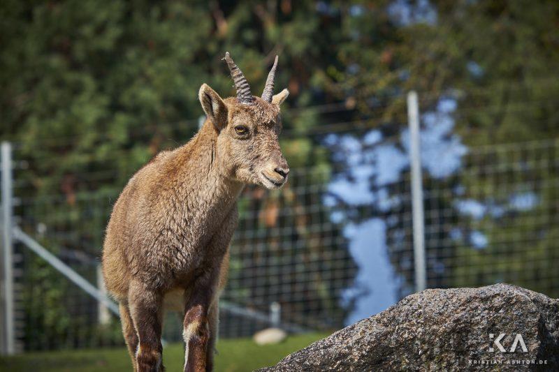 A cheeky goat