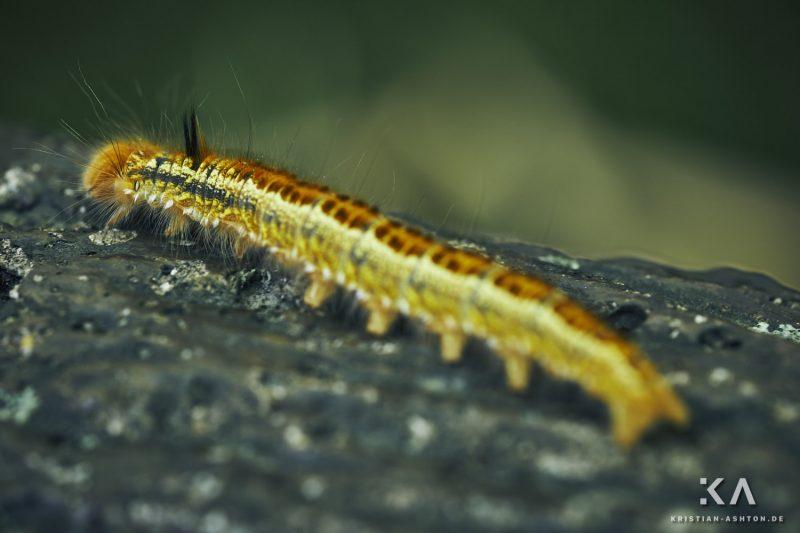 A caterpillar at Tenryu-ji temple
