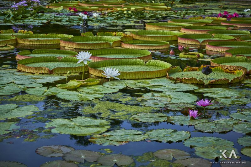 The large lily pond in the Moorish garden of the Stuttgart Wilhelma