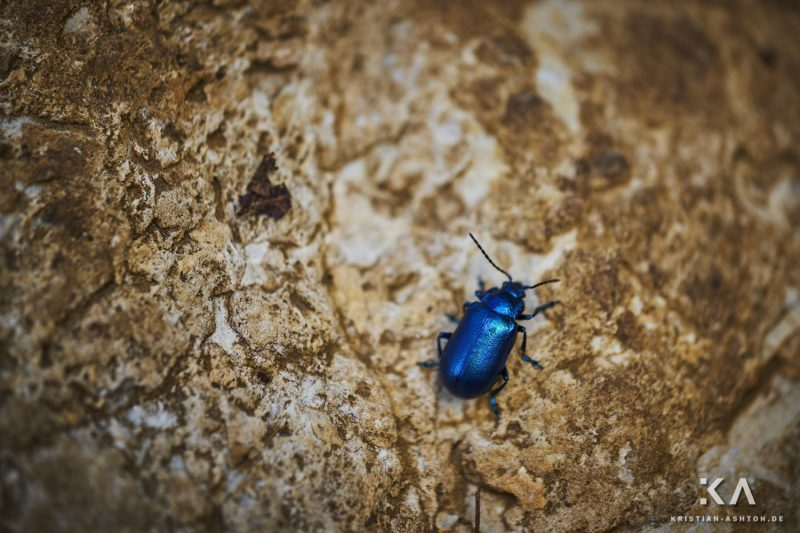 A lovely blue beetle