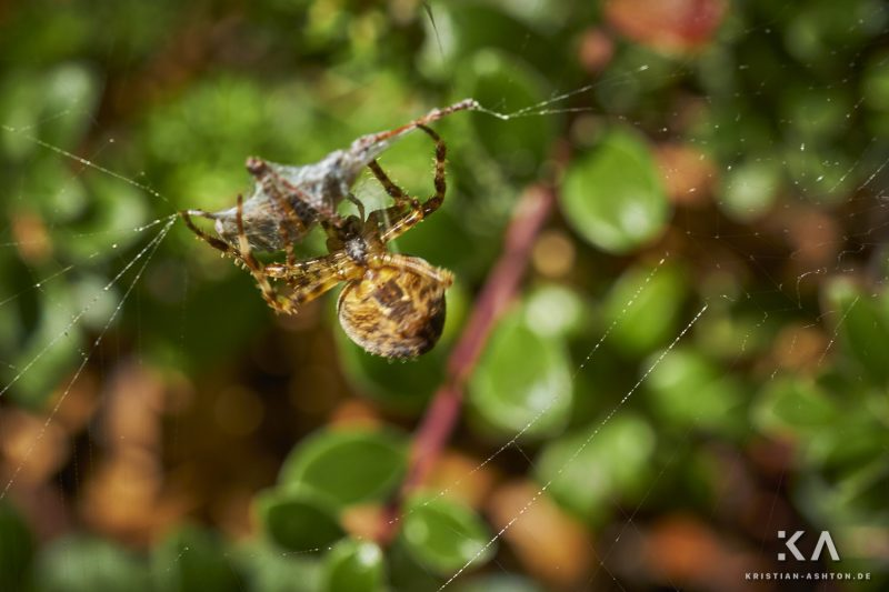 Hike from guesthouse Schönblick to the mountain summit Völseggspitze - a spider wraps up its prey